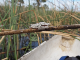 Frog in the Okavango Delta