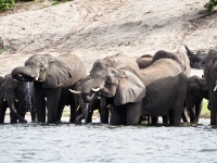 Elephants taking a drink from the Chobe River