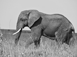 Elephant in the Serengeti National Park