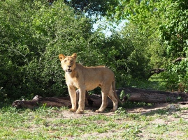 Lioness in the Chobe National Park