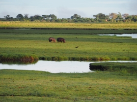View of Choba National Park with some hippos grazing